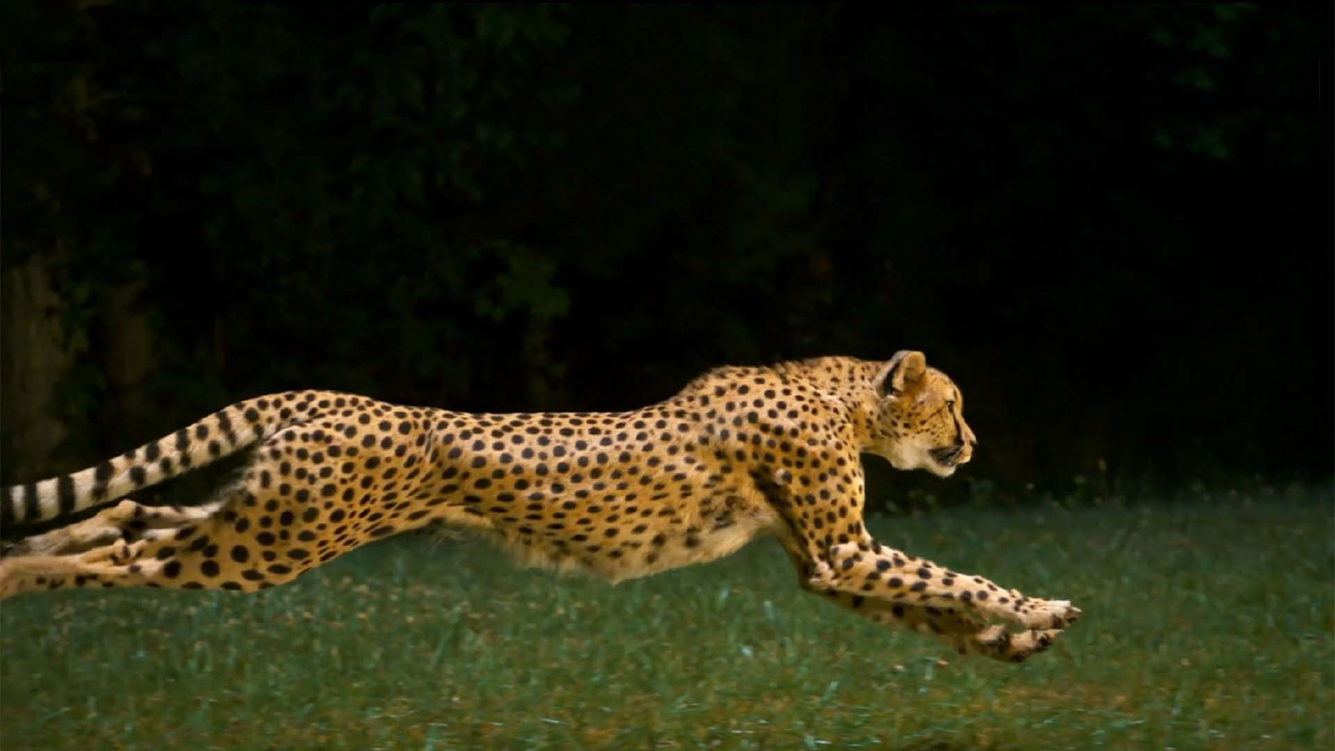 cheetah_platform